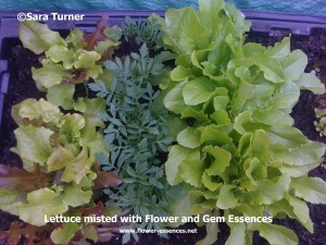 Lettuces misted with Essences
