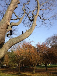 Crow in Ellington Park